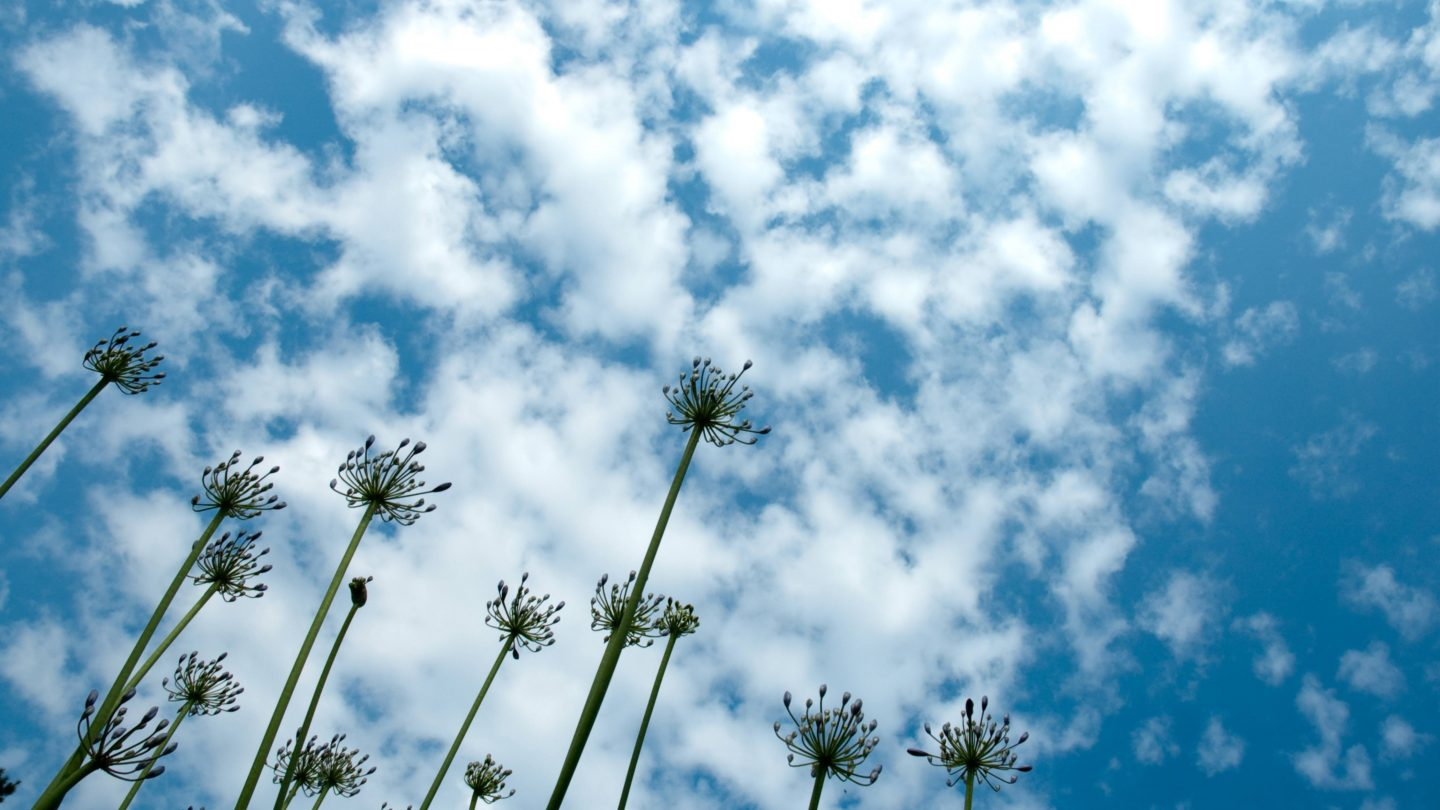 African Lillies on Cirrocumulus Clouds