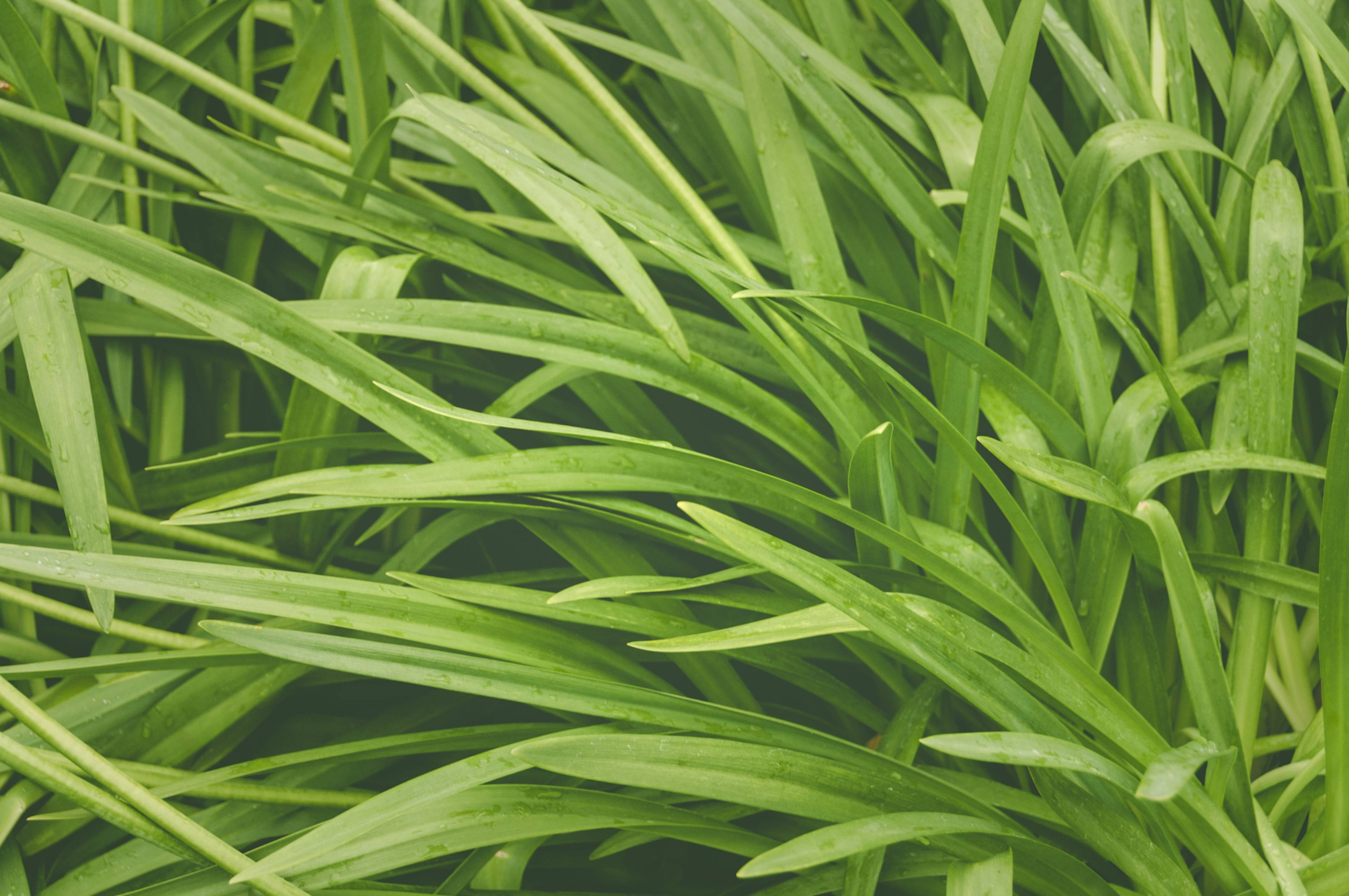 African Lilly leaves background