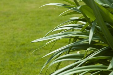 African Lily Leaves and short Grass
