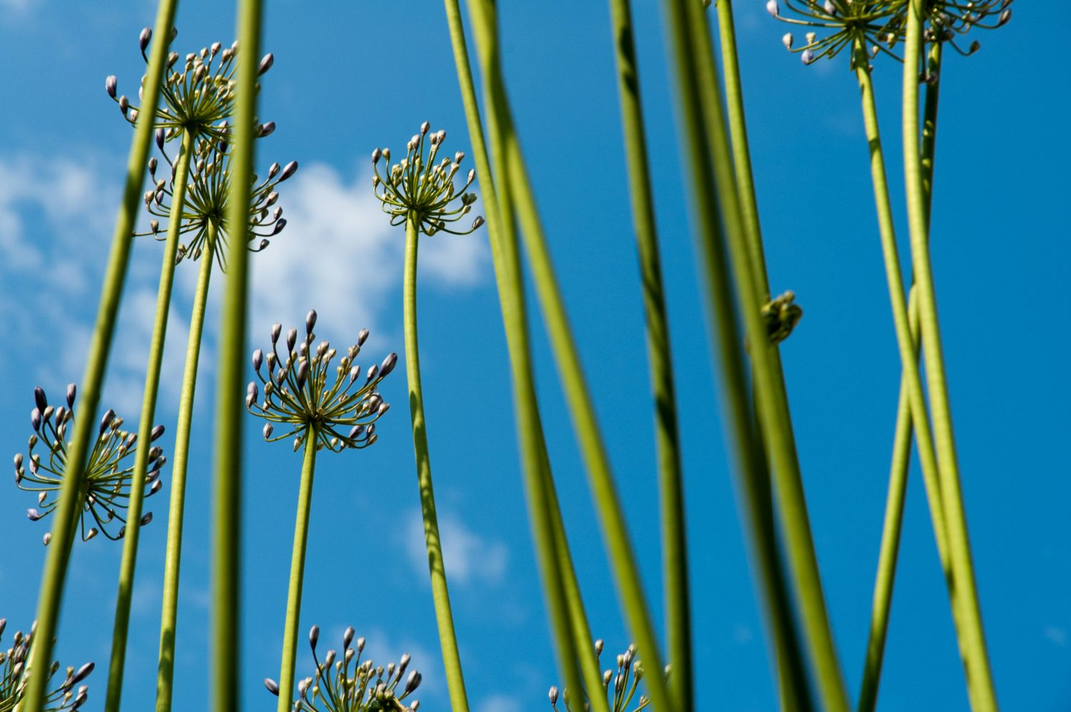 African Lily on a Blue Sky