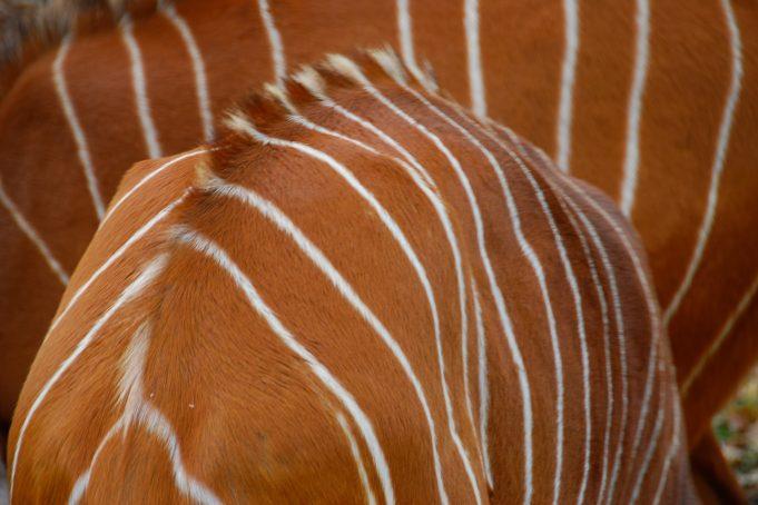 African Nyala Deer Back