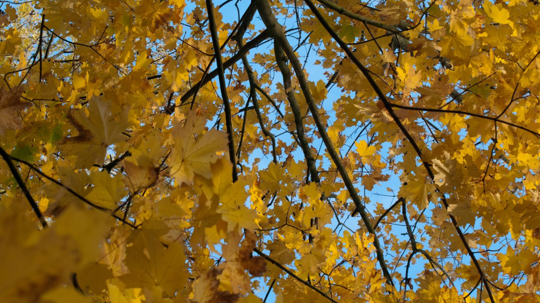 Autumn Tree Leaves-background