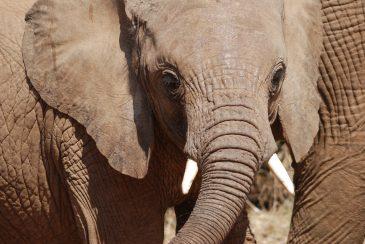 Baby Elephant. Samburu National park Kenia, Africa