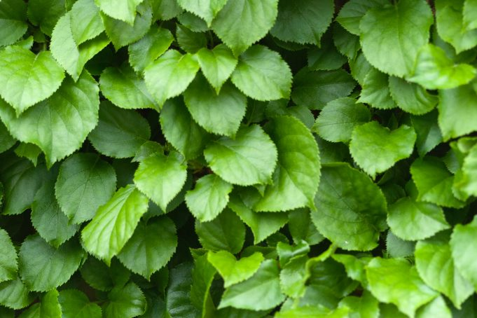 Backdrop of Green Leaves