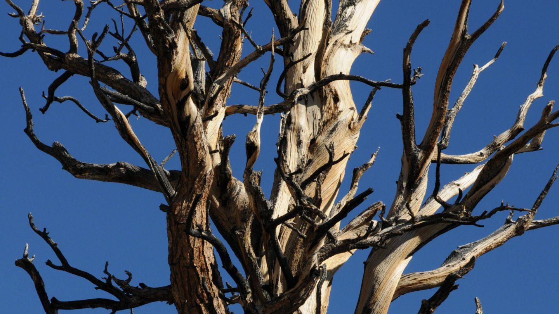 Bare Bristlecone Pine tree top