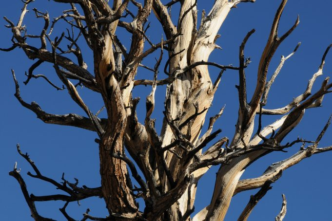 Bare Bristlecone Pine tree top