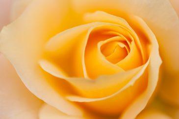 Beautiful Yellow Rose Close-up Flower Soft Texture
