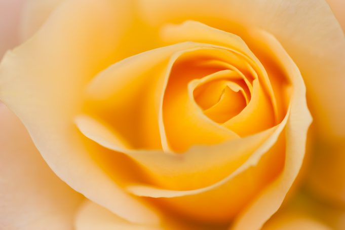 Beautiful Yellow Rose Close-up Flower Soft Texture