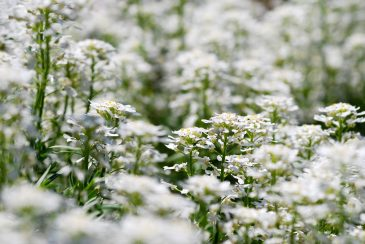 Bed of Small White Flowers