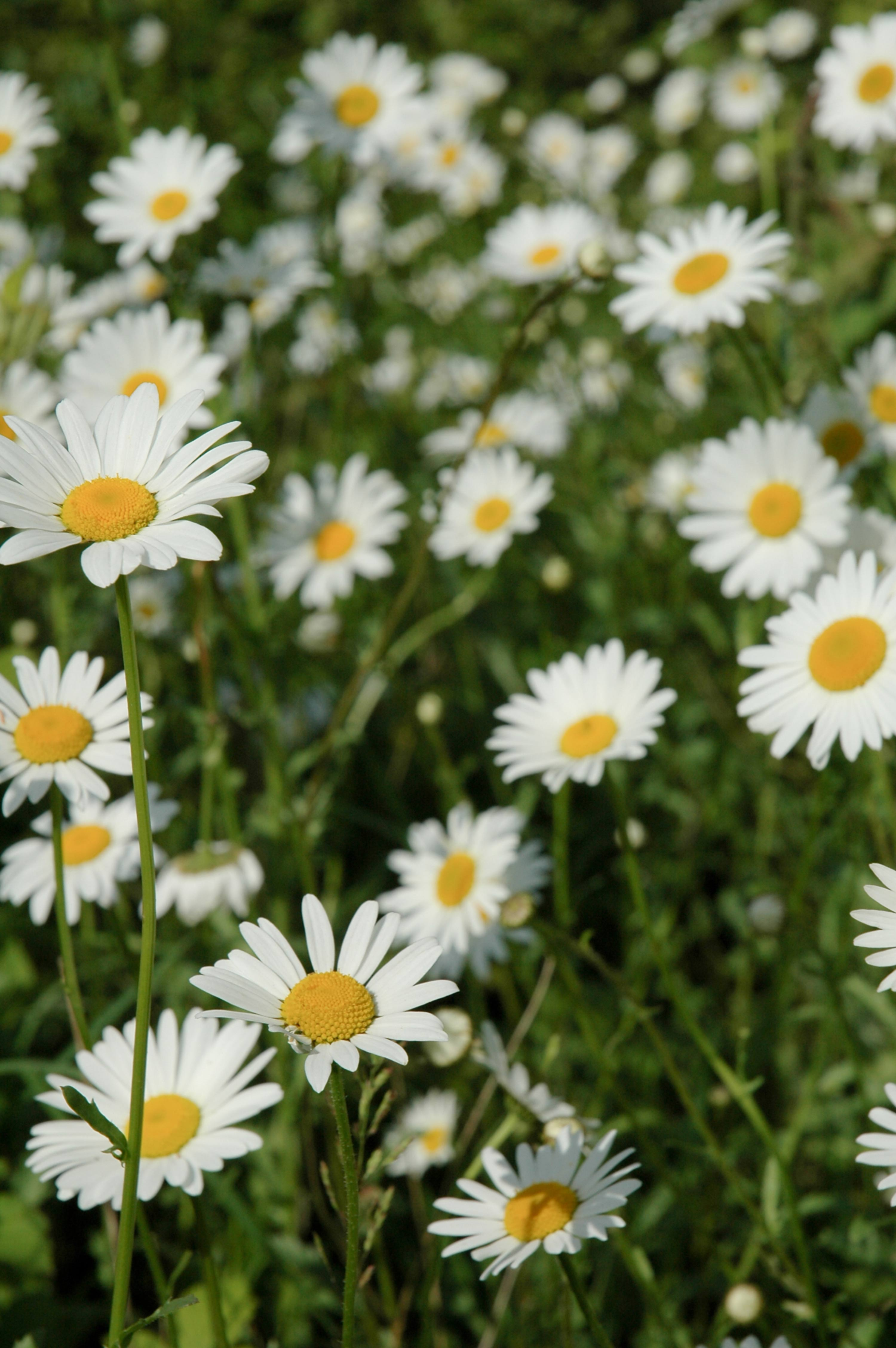 Bed of White Field Flowers