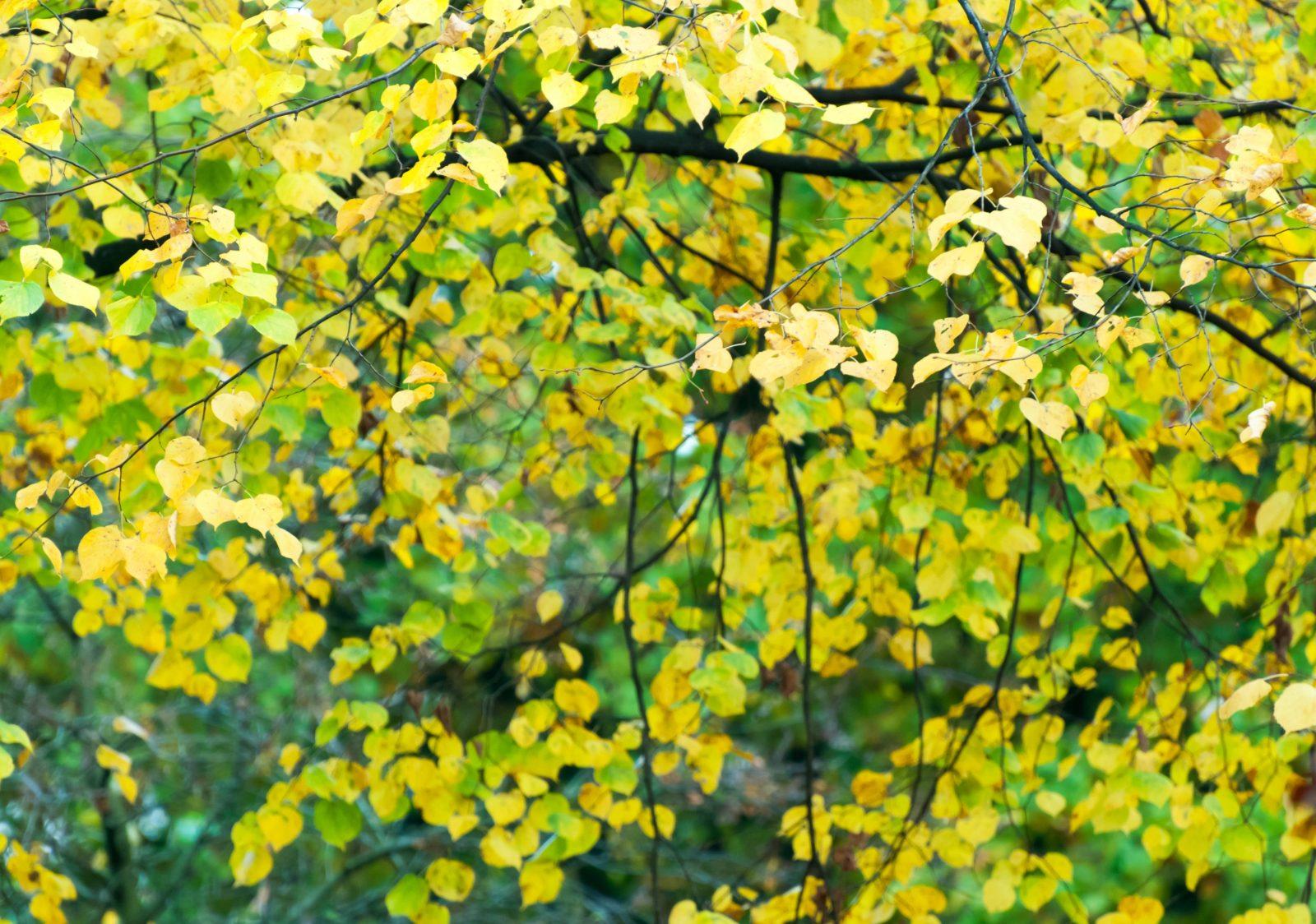 Beech Tree Leaves Treetops Texture