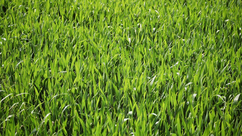 Big Grass Leaves