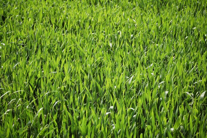 Big Grass Leaves