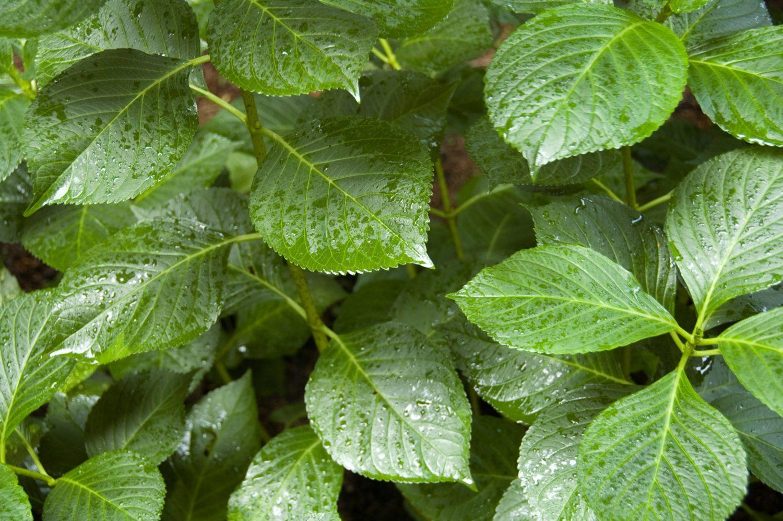 Big Leaves green background