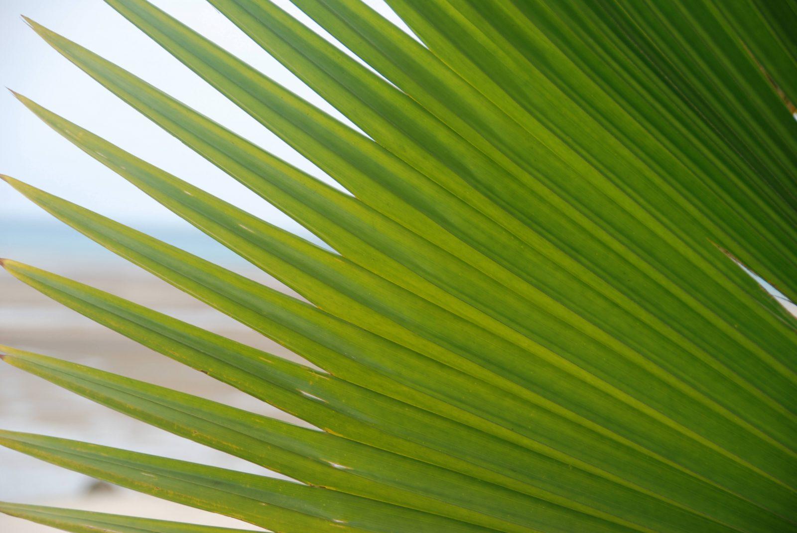 Bounty Island Palm Tree Leaf Close-Up