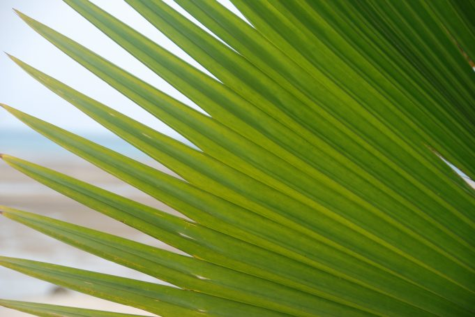 Bounty Island Palm Tree Leaf Close-Up