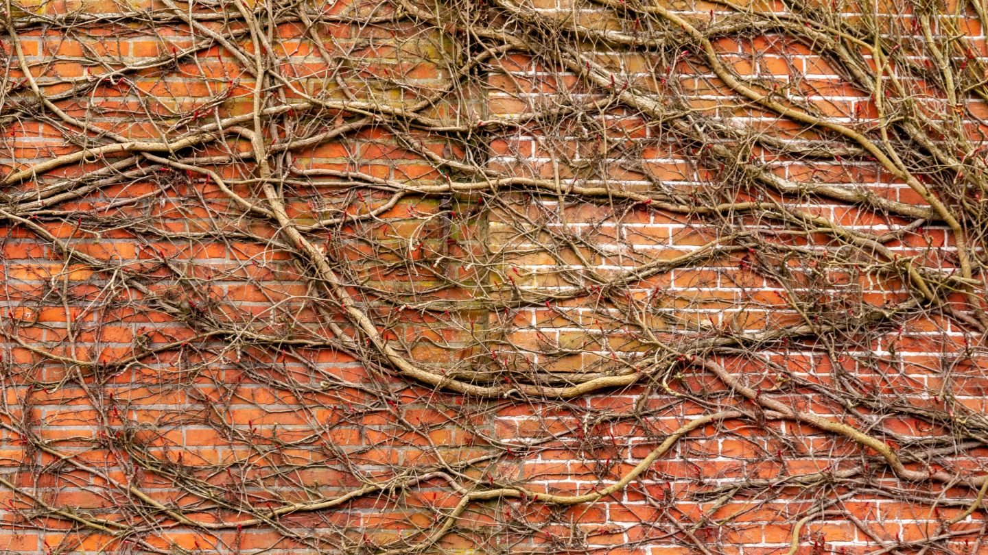 Brick wall overgrown by roots and branches