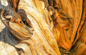 Bristlecone pine tree close-up texture arizona usa