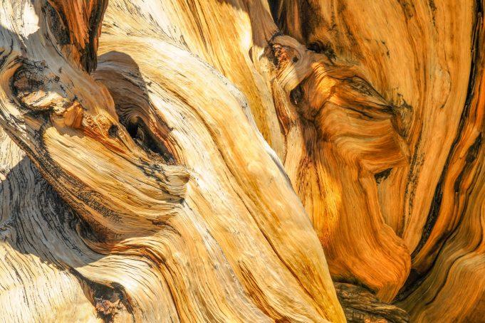 Bristlecone pine tree close-up texture arizona usa
