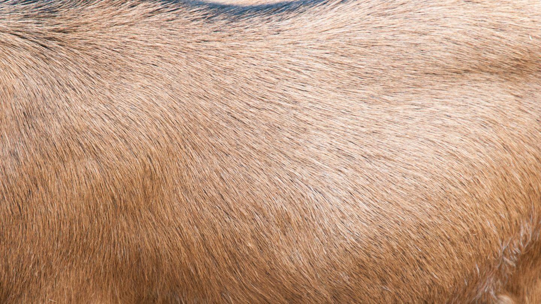 Brown goat fur background