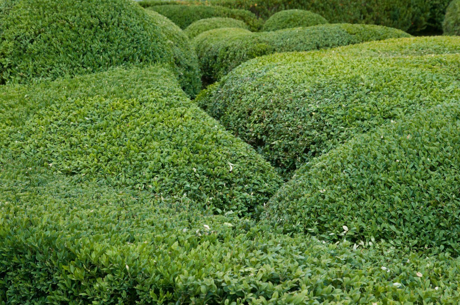 buxus garden round shapes texture