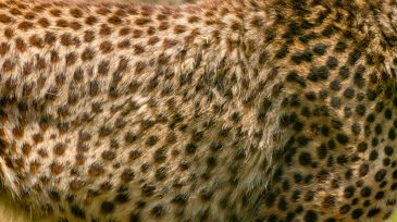 Cheetah fur pattern