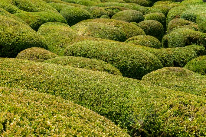 Close-up Buxus garden Marqueyssac, France