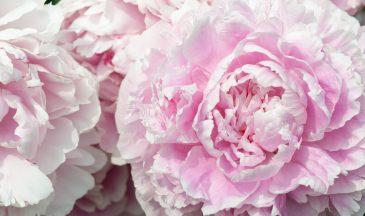 Close up of a big pink wonderful camellia