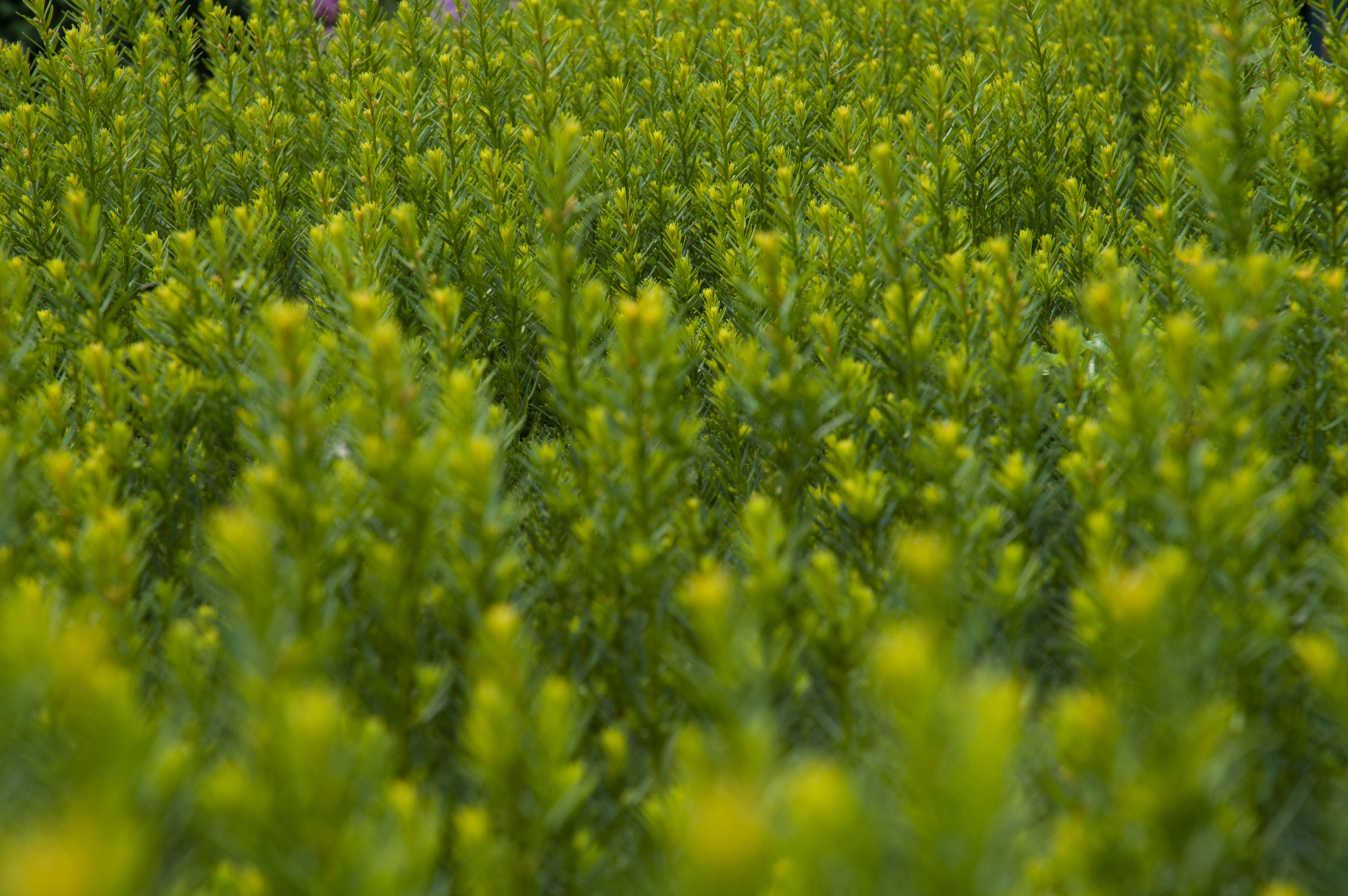 Conifer Green Hedge