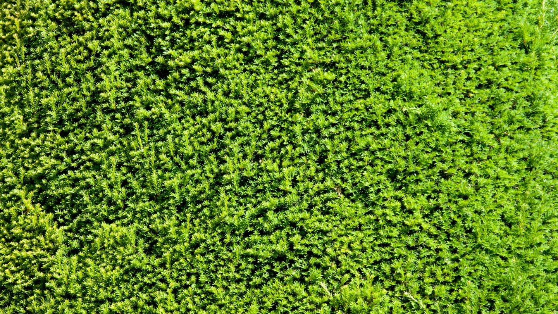 Conifer bush backdrop