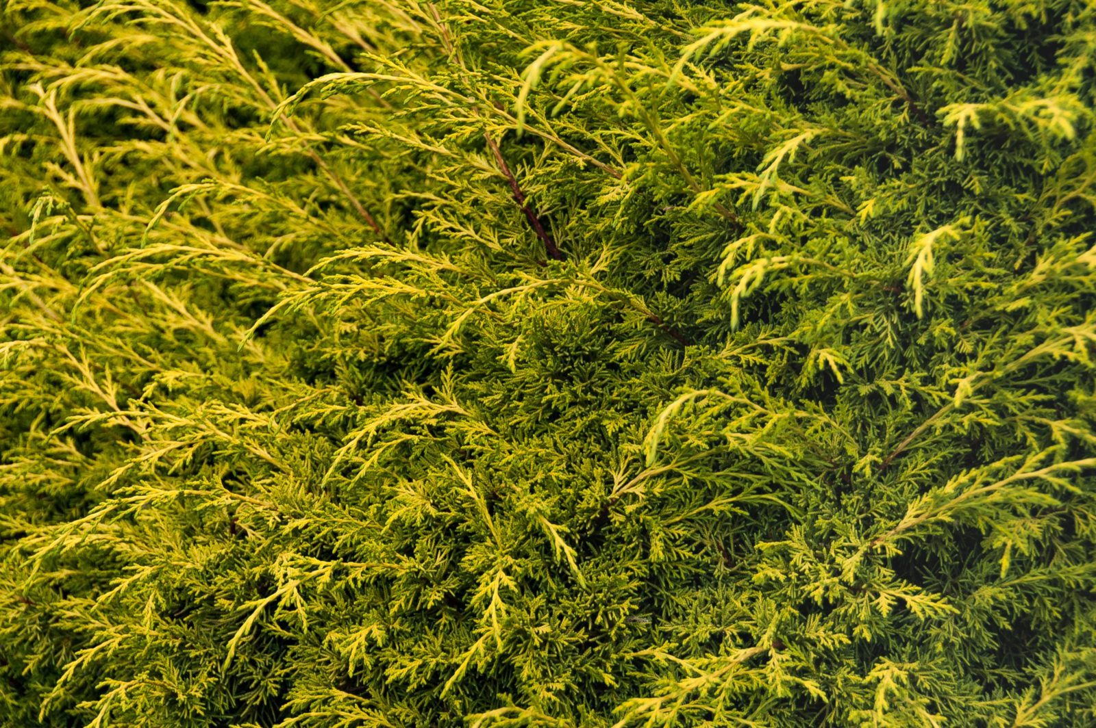 Coniferous hedge green background