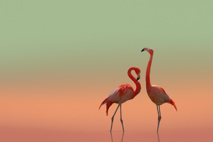 Couple Pink Flamingos Isolated on colored background