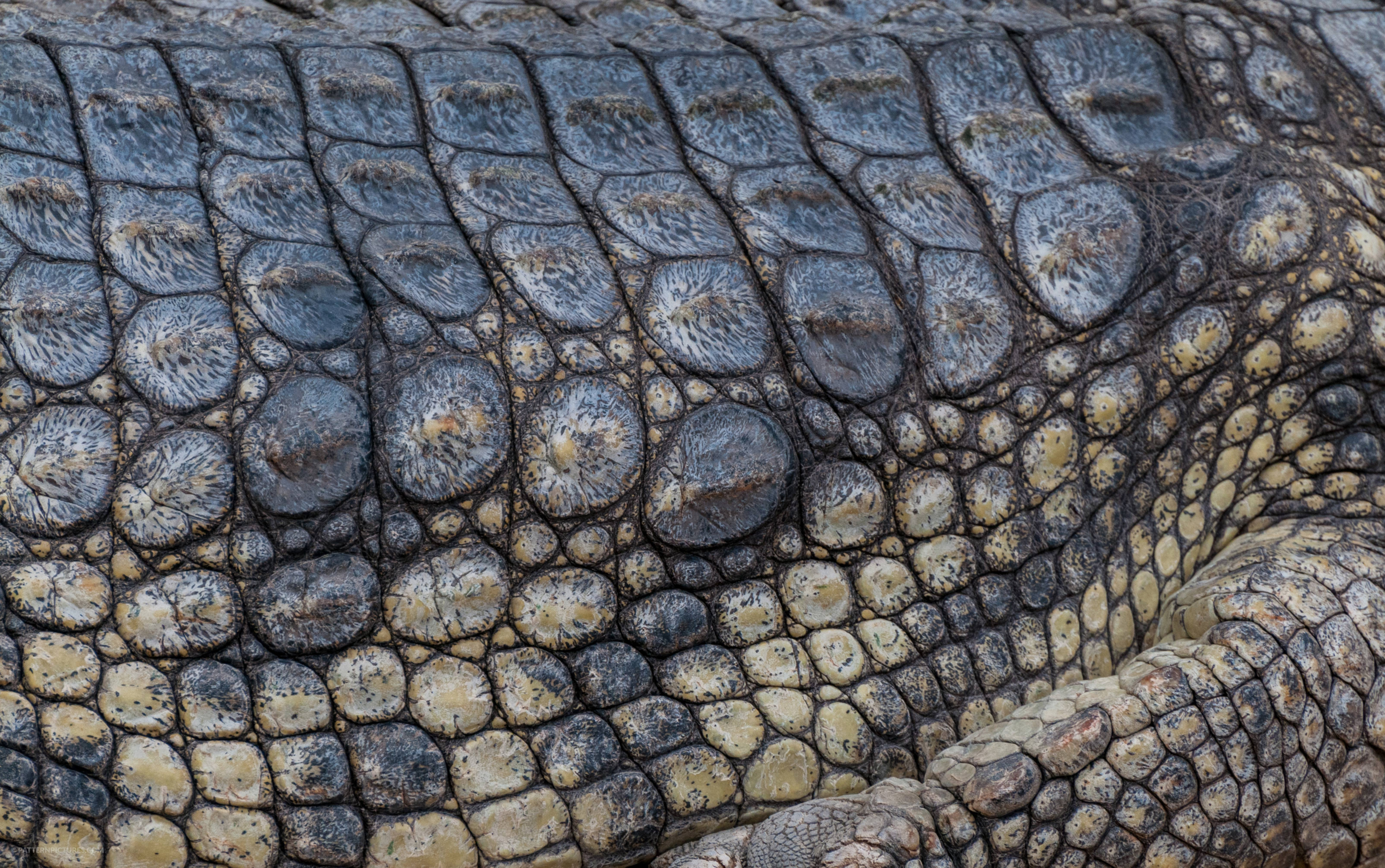 Crocodile skin texture reptile background