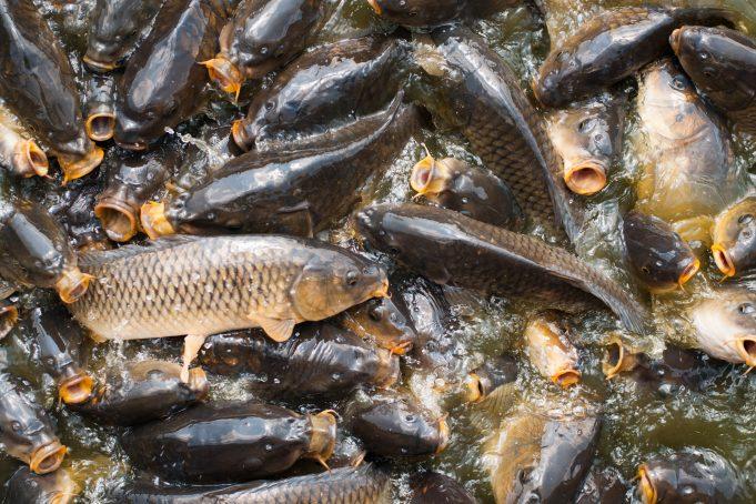 Crowded carp fish