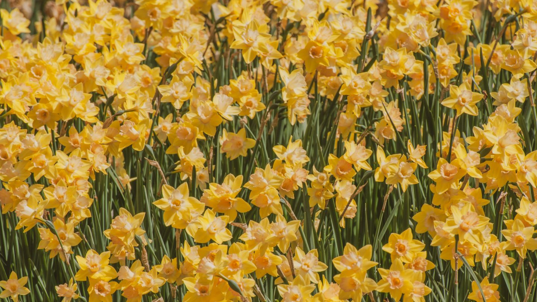 Daffodils flowers background free photo