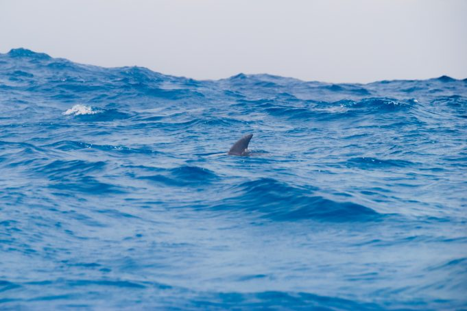 Dolphin curved trailing edge dorsal fin out the water