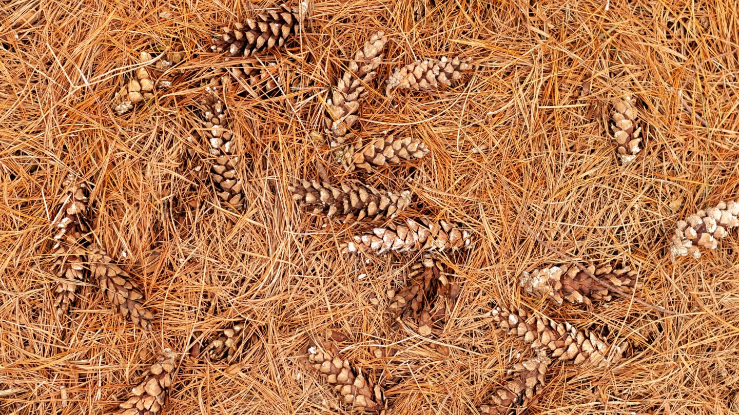 Dried Pine Tree Needles and Pine Cones