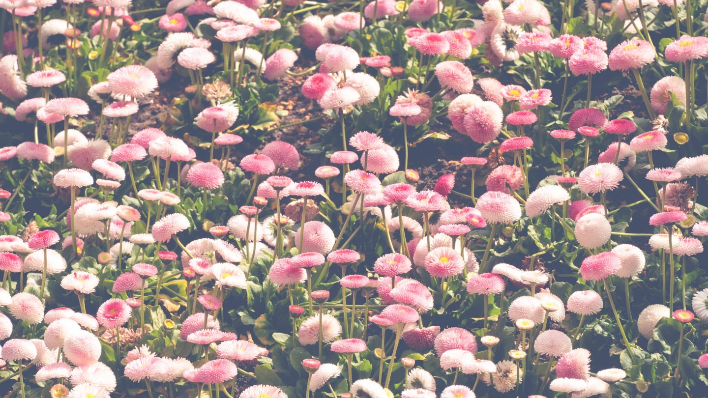 English daisies pink flowers background photo