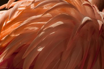 Feathers flamingo background texture