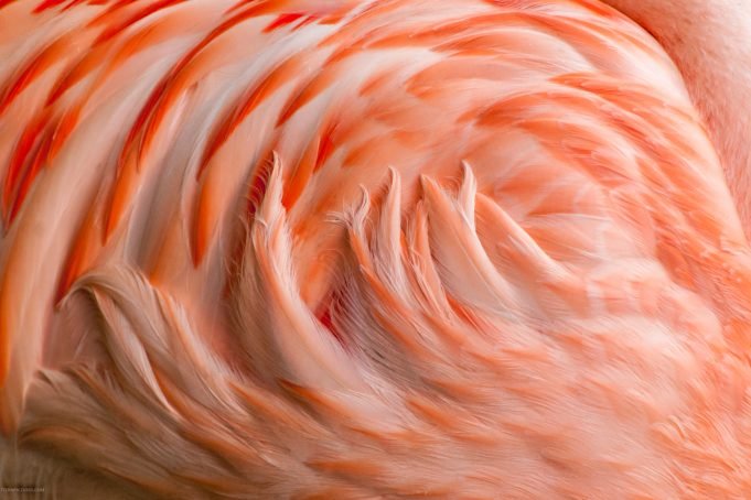 Flamingo feathers background