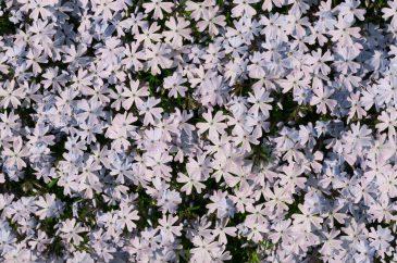 Flower bed phlox pattern