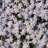 Flower bed phlox pattern