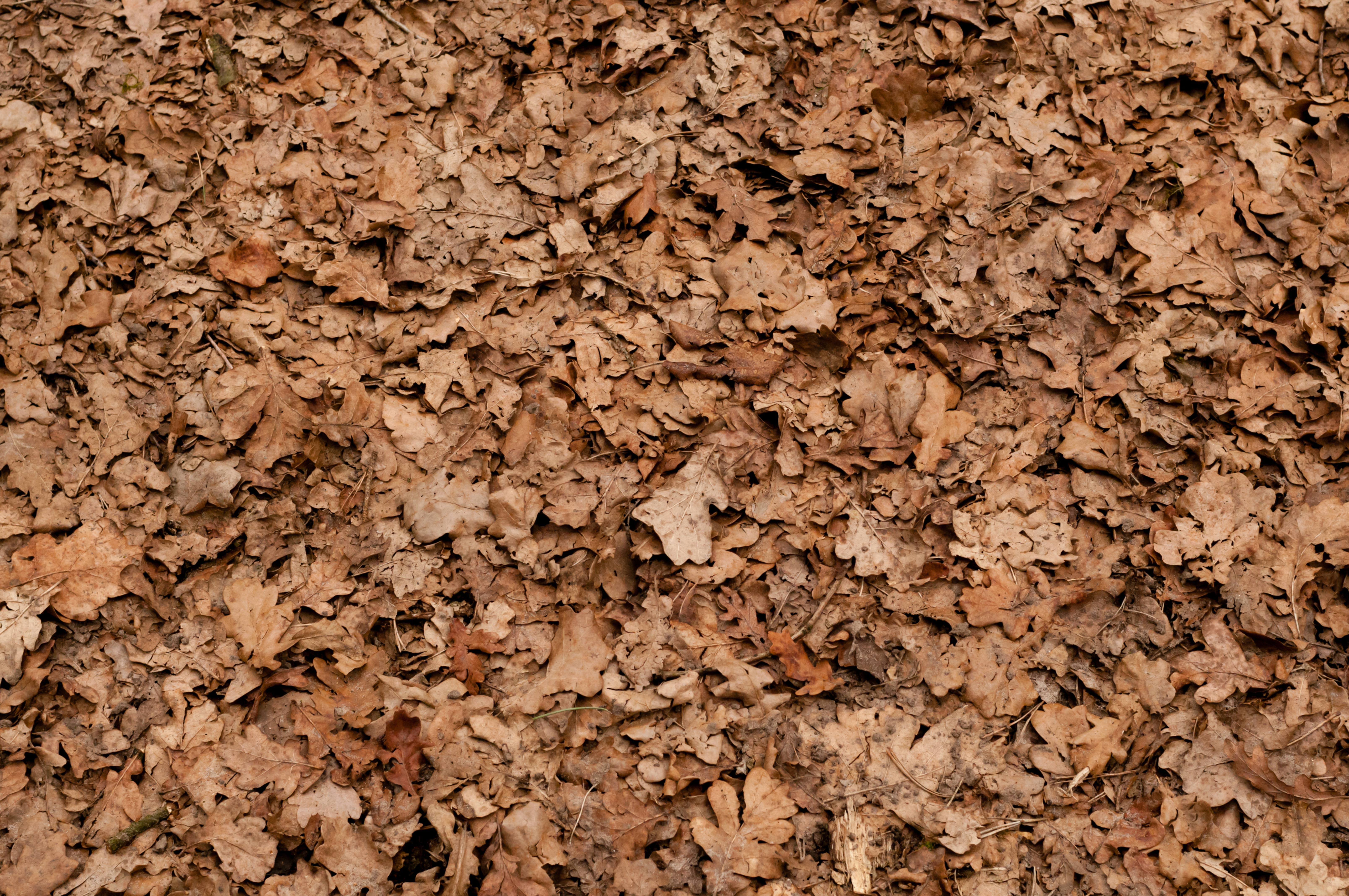 Forest Ground Covered with Dry Oak Leaves