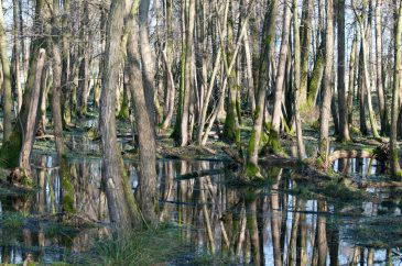 Forrest Swamp and Water Reflections