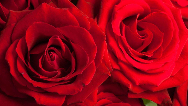 Full frame red roses
