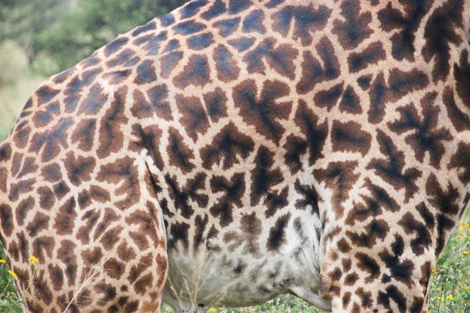 Giraffe skin fur pattern texture
