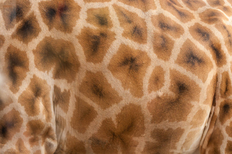 Giraffe fur texture background