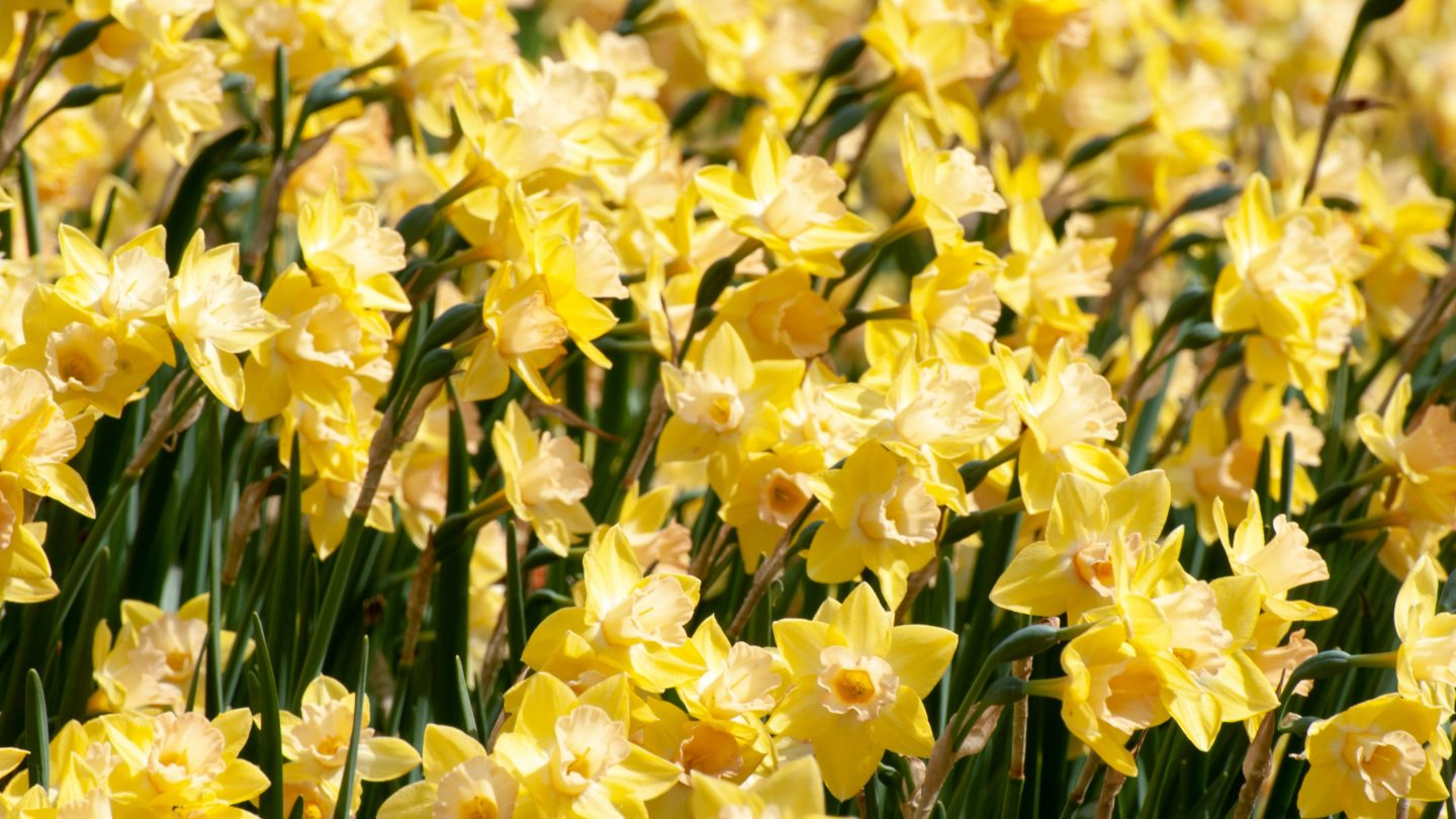 Golden daffodils flowers background