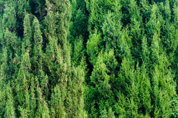 Green coniferous hedge texture background