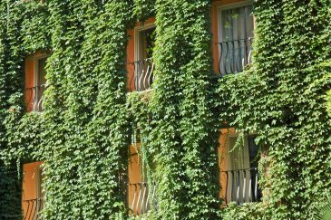 Green ivy growing on a wall of a hotel building